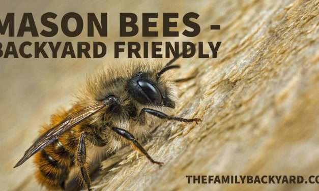 Mason Bees – Great Additions to Your Backyard